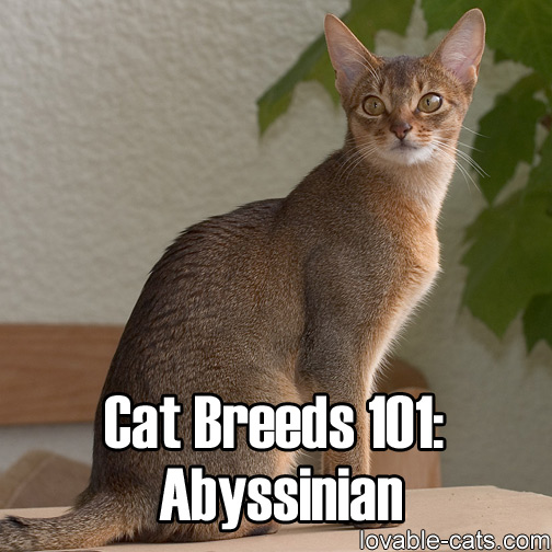 Cat Breeds 101: Abyssinian