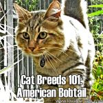 Cat Breeds 101: American Bobtail!