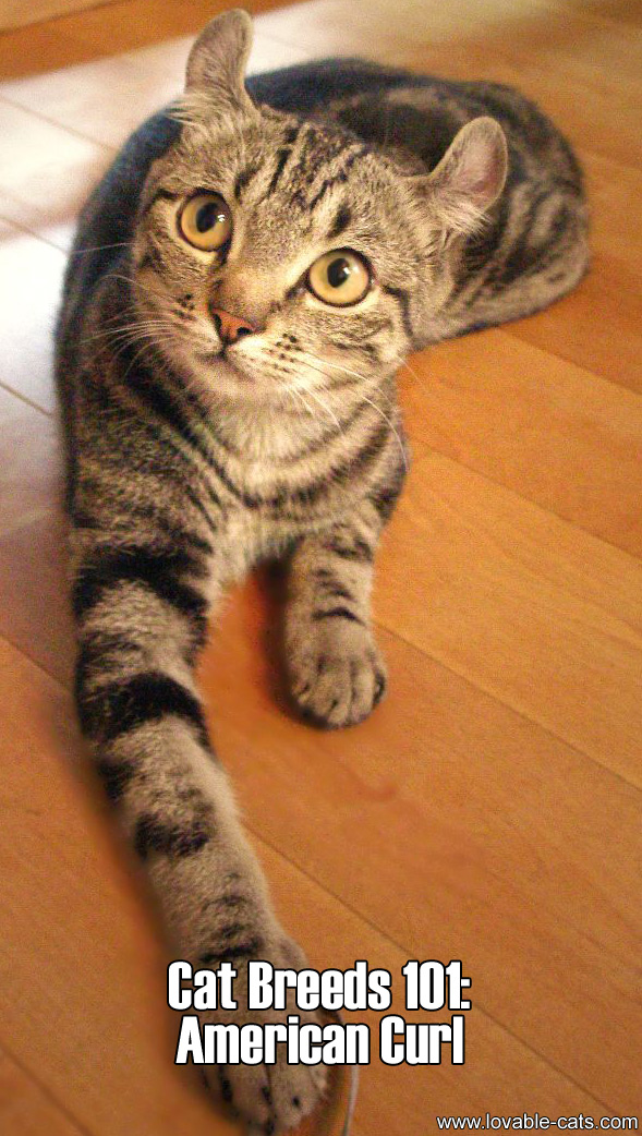 Cat Breeds 101: American Curl