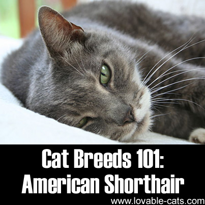 Cat Breeds 101: American Shorthair