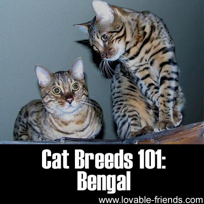 Cat Breeds 101: Bengal!