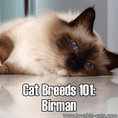 Cat Breeds 101: Birman!