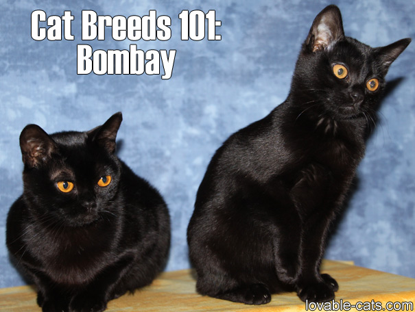 Cat Breeds 101: Bombay