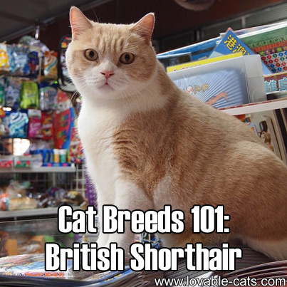 Cat Breeds 101: British Shorthair