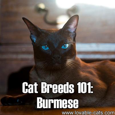家貓品種列表  維基百科自由的百科全書