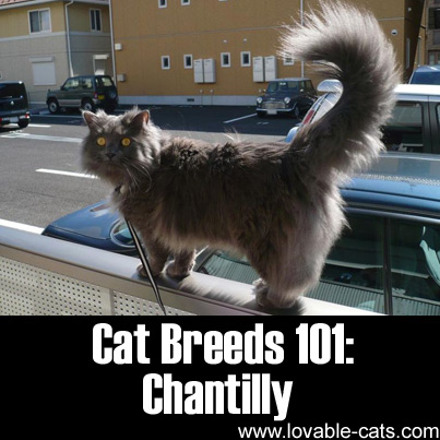 Cat Breeds 101: Chantilly