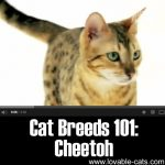 Cat Breeds 101: Cheetoh!
