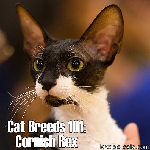 Cat Breeds 101: Cornish Rex