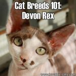 Cat Breeds 101: Devon Rex!