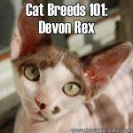 Cat Breeds 101: Devon Rex!