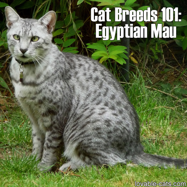 Cat Breeds 101: Egyptian Mau
