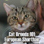 Cat Breeds 101: European Shorthair!