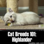 Cat Breeds 101: Highlander!