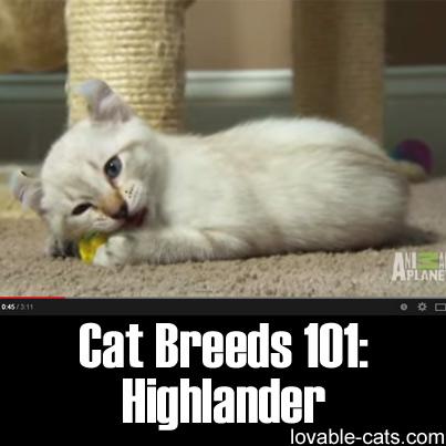 Cat Breeds 101: Highlander