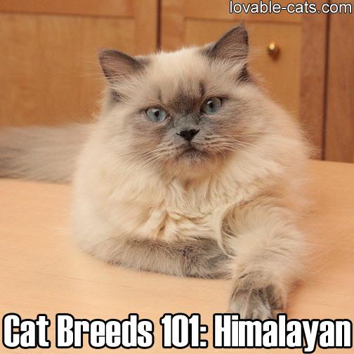 Cat Breeds 101: Himalayan