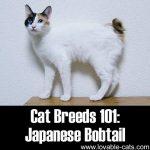 Cat Breeds 101: Japanese Bobtail!
