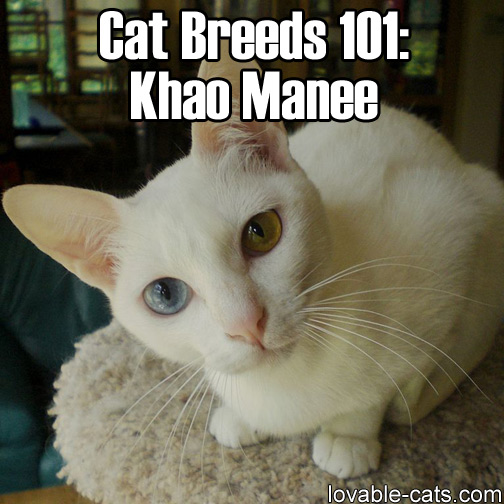 Cat Breeds 101: Khao Manee