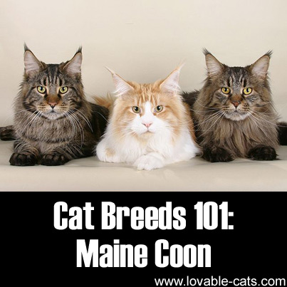 Cat Breeds 101: Maine Coon