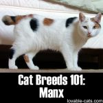 Cat Breeds 101: Manx!