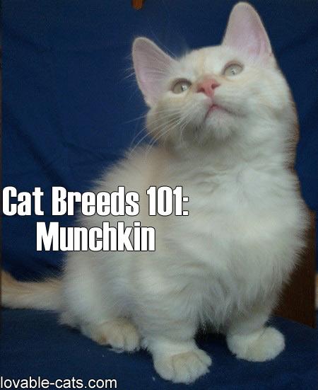 Cat Breeds 101: Munchkin