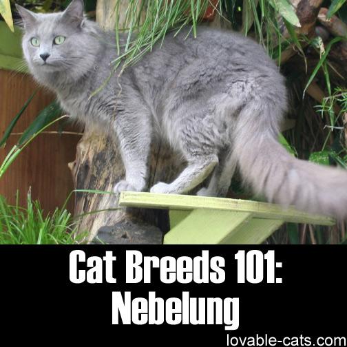 Cat Breeds 101: Nebelung