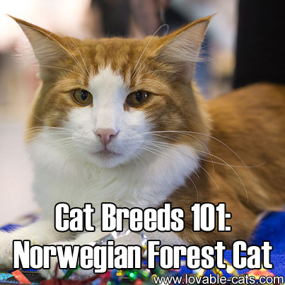Cat Breeds 101: Norwegian Forest Cat!