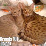 Cat Breeds 101: Ocicat!