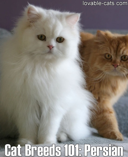 Cat Breeds 101: Persian