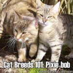 Cat Breeds 101: Pixie-Bob!