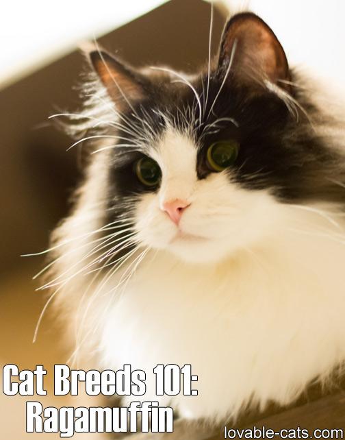Cat Breeds 101: Ragamuffin
