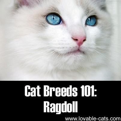 Cat Breeds 101: Ragdoll!