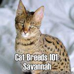 Cat Breeds 101: Savannah!