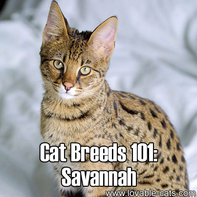 Cat Breeds 101: Savannah!
