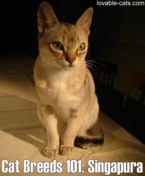 Cat Breeds 101 - Singapura
