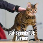 Cat Breeds 101: Toyger
