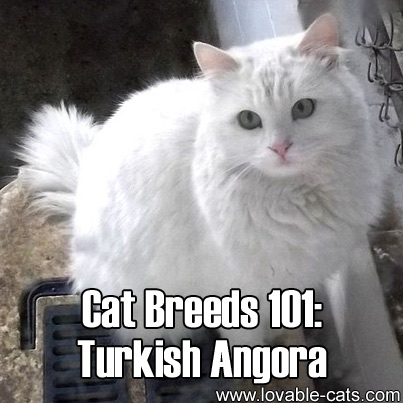 Cat Breeds 101: Turkish Angora!