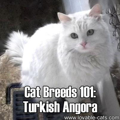 Cat Breeds 101: Turkish Angora!