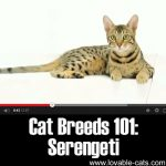 Cat Breeds 101: Serengeti!
