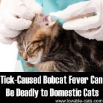 Tick-Caused Bobcat Fever Can Be Deadly To Domestic Cats