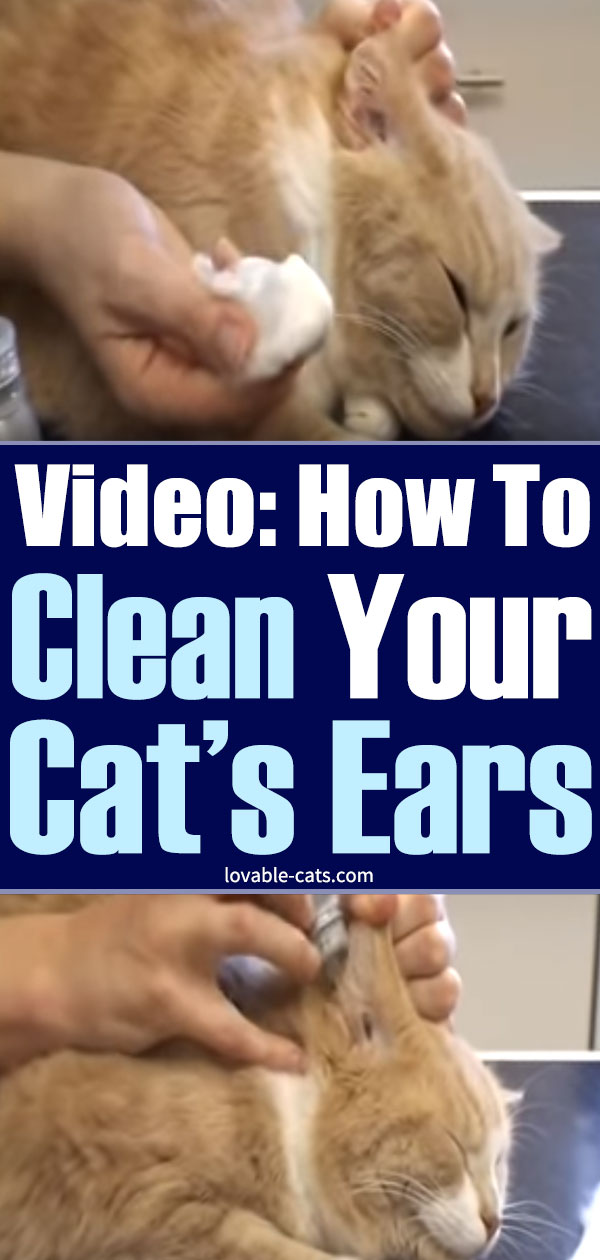 Video - How To Clean Your Cat's Ears