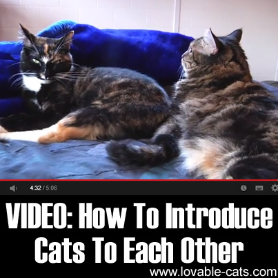 lovable cats video how to introduce cats to each other lovable cats. Black Bedroom Furniture Sets. Home Design Ideas