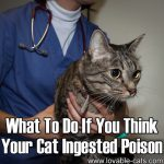 What To Do If You Think Your Cat Ingested Poison