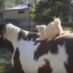Cute Manx Kitty Plays On Horse's Back, Then Has A Little Surprise