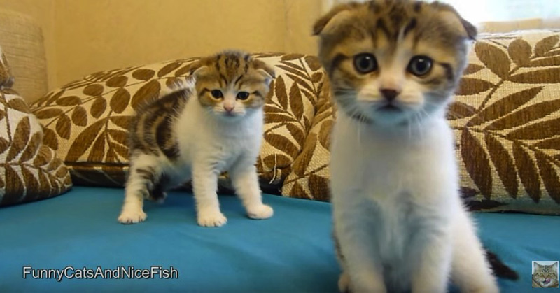 Cutest Twins Ever - Scottish Fold Kittens