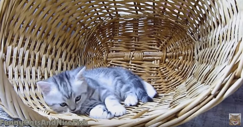 Naomi Loves Basket - Funny Cats