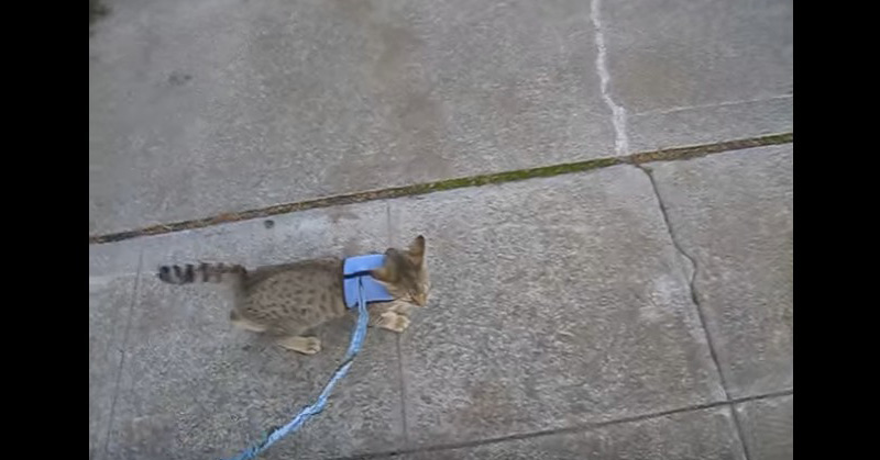 Pixie Bob Cat Walking On Leash