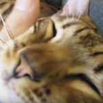 Rocket & Rumble – Sleeping Bengal Cats