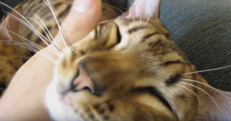 Rocket & Rumble Sleeping Bengal Cats Linus Cat Tips