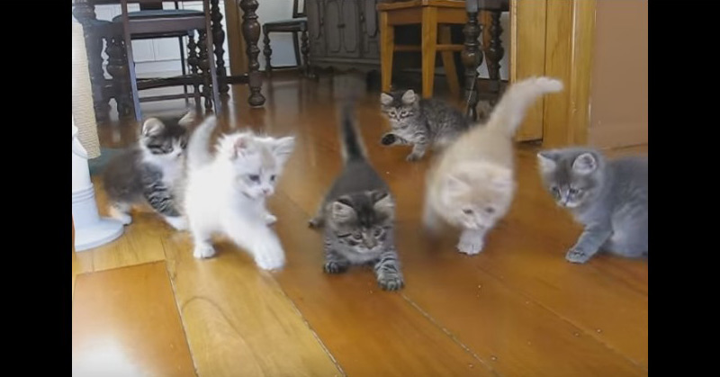 Six Siberian Kittens At Play
