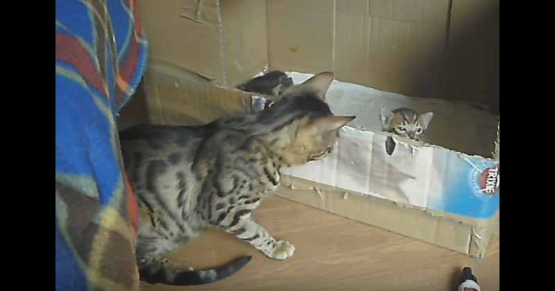 Video - Bengal Cat Talking To Her Kitten